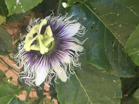This is the passion fruit flower, grows on a vine